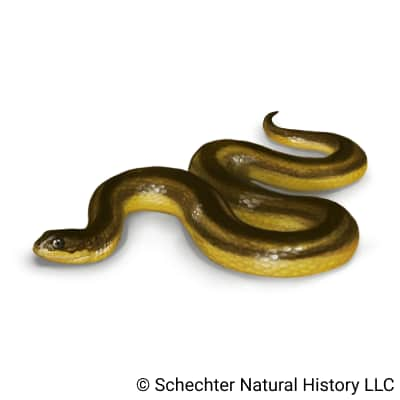 striped swampsnake