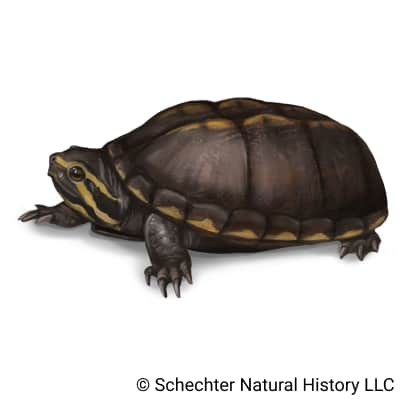 striped mud turtle