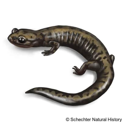 weller's salamander