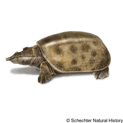 Wattle-necked Softshell Turtle