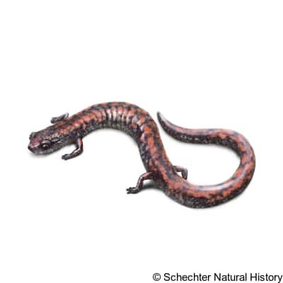 Oregon slender salamander