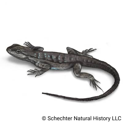 Black-tailed Brush Lizard