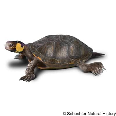 bog turtle