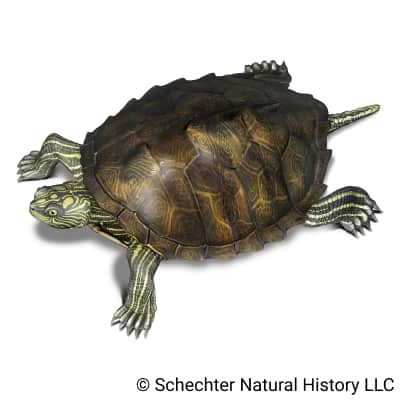 Sabine Map Turtle