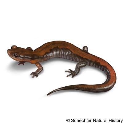 southern zigzag salamander
