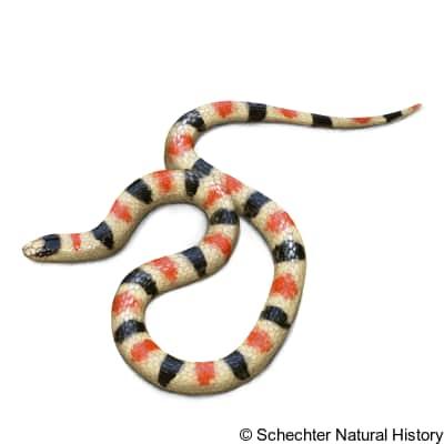 Resplendent Desert Shovel-Nosed Snake