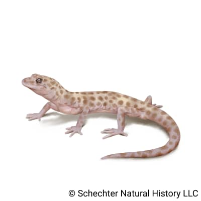Reticulated Gecko