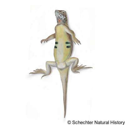 elegant earless lizard