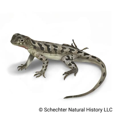 spot-tailed earless lizard