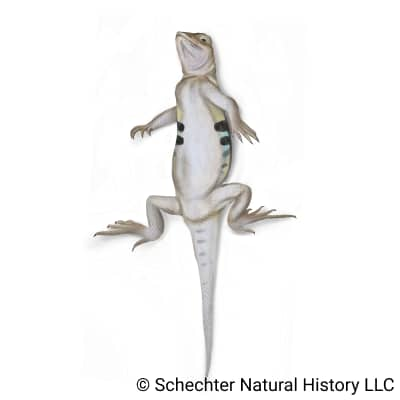 Western Earless Lizard