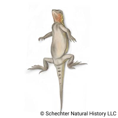 spot-tailed earless lizard