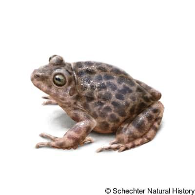 barking frog