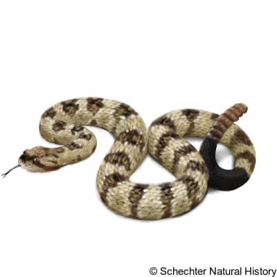 western black-tailed rattlesnake