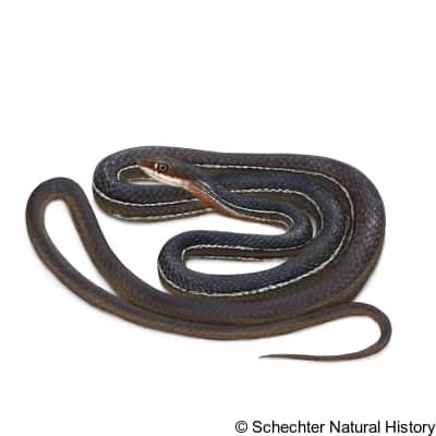 schott's whipsnake