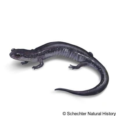 northern ravine salamander