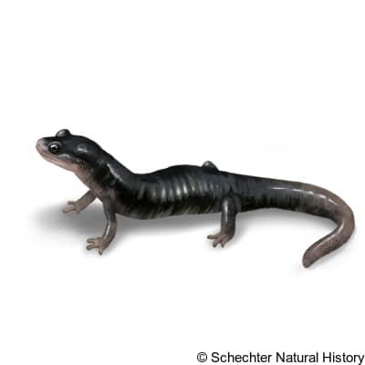 blue ridge gray-cheeked salamander