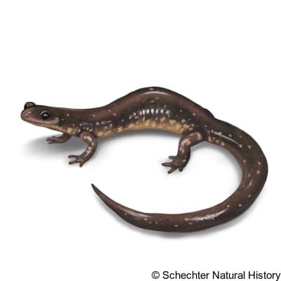 Dixie Caverns Salamander