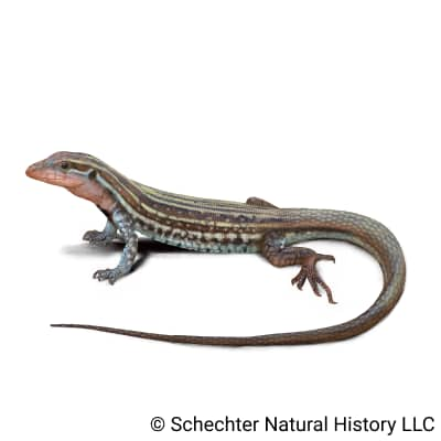 common spotted whiptail