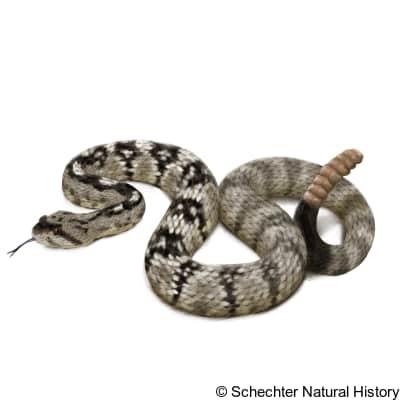 Eastern Black-tailed Rattlesnake
