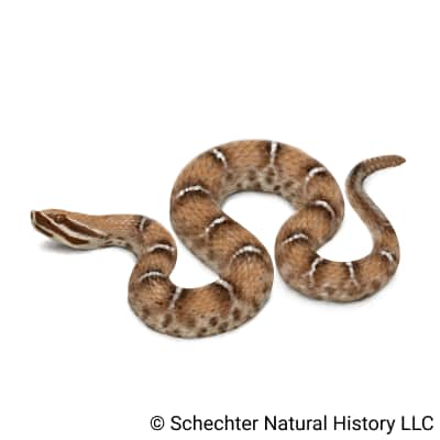 ridge-nosed rattlesnake