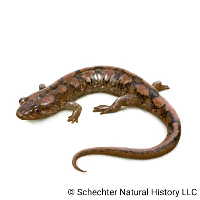 cumberland dusky salamander