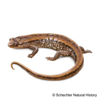 seepage salamander