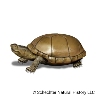 arizona mud turtle