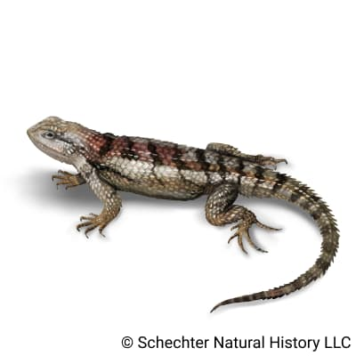 texas spiny lizard
