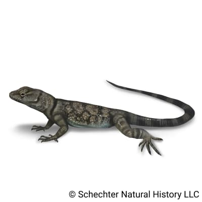 Banded Rock Lizard