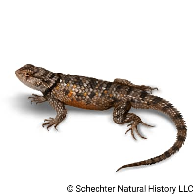 Twin-spotted Spiny Lizard