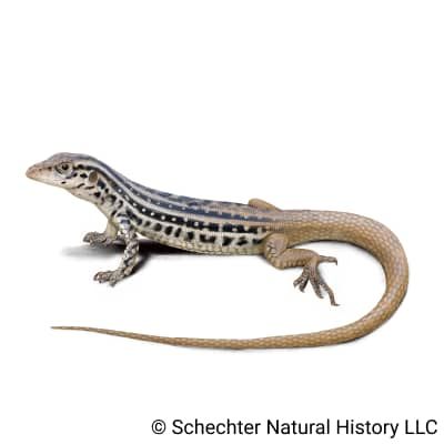 plateau spotted whiptail