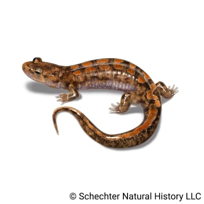 ocoee salamander