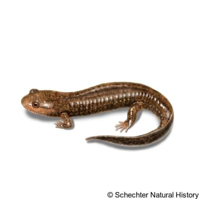 dwarf black-bellied salamander