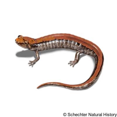 carolina mountain dusky salamander