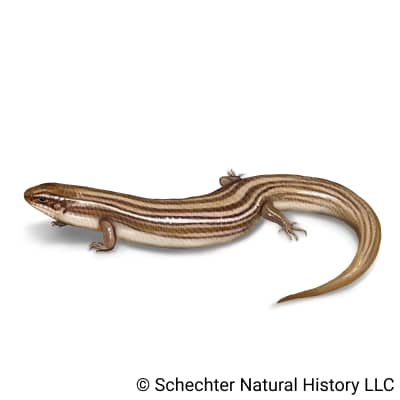 many-lined skink