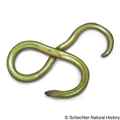 San Diegan Legless Lizard