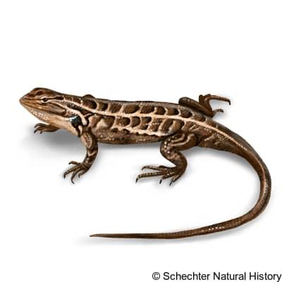 Slevin's Bunch Grass Lizard