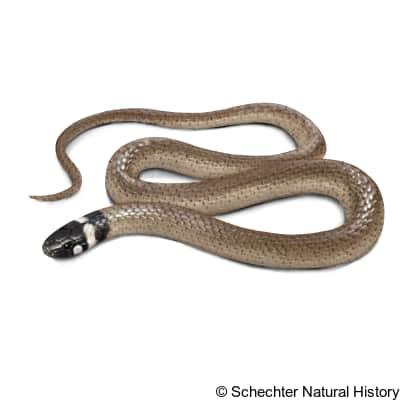 Big Bend Blackhead Snake