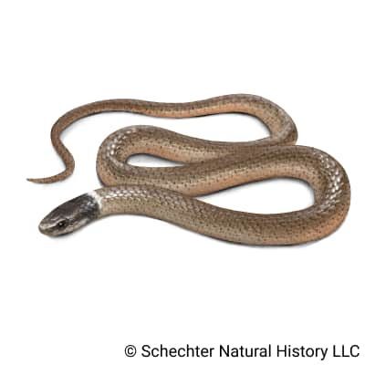 western black-headed snake