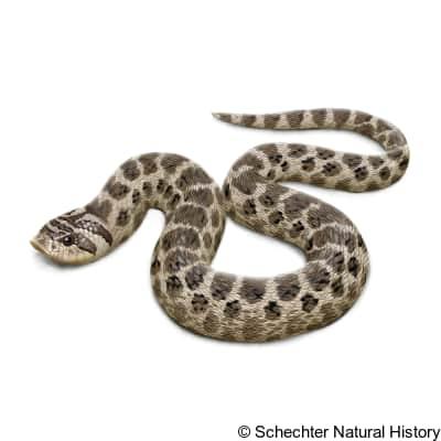 Mexican Hognose Snake
