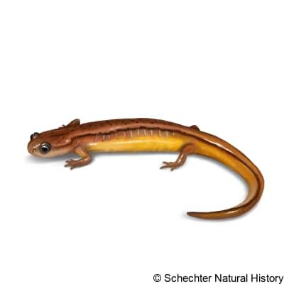 chamberlain's dwarf salamander