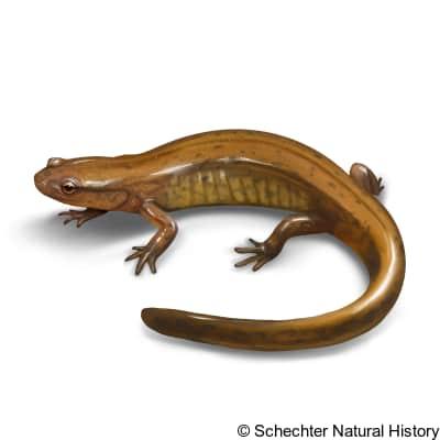 junaluska salamander