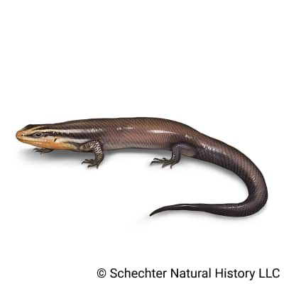 four-lined skink