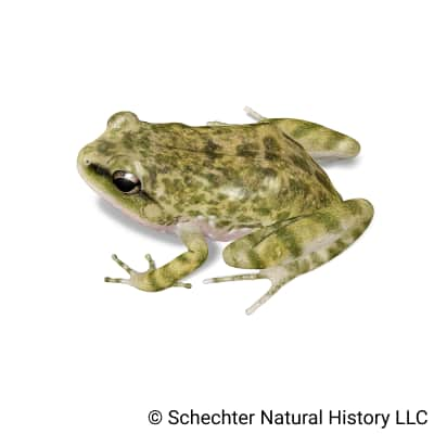 spotted chirping frog