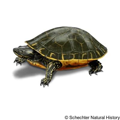 chicken turtle