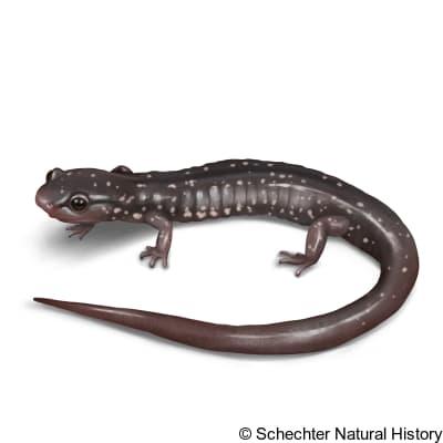 southern appalachian salamander