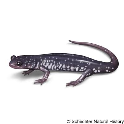 cumberland plateau salamander