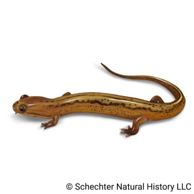 patch-nosed salamander