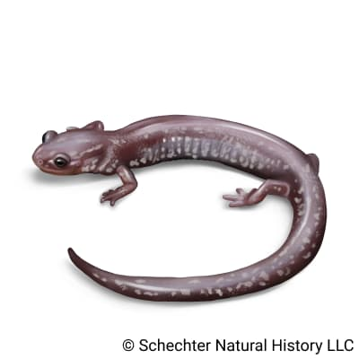 valley and ridge salamander