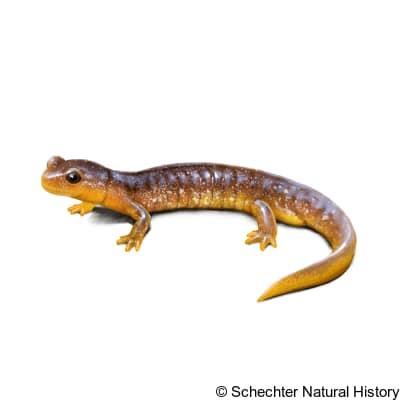 columbia torrent salamander